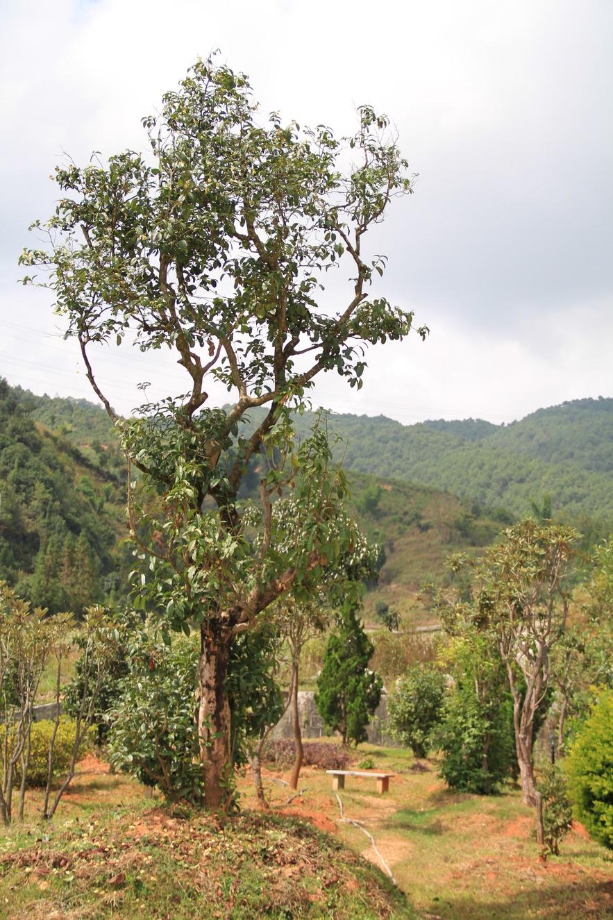 Чайное дерево, возраст 600 лет
