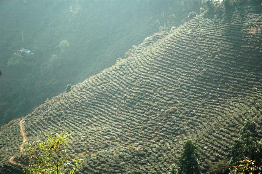 Чайная плантация, Дарджилинг.