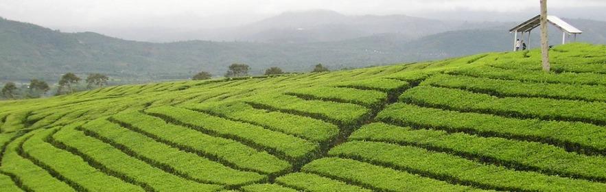 Чайные плантации Канди, Шри-Ланка