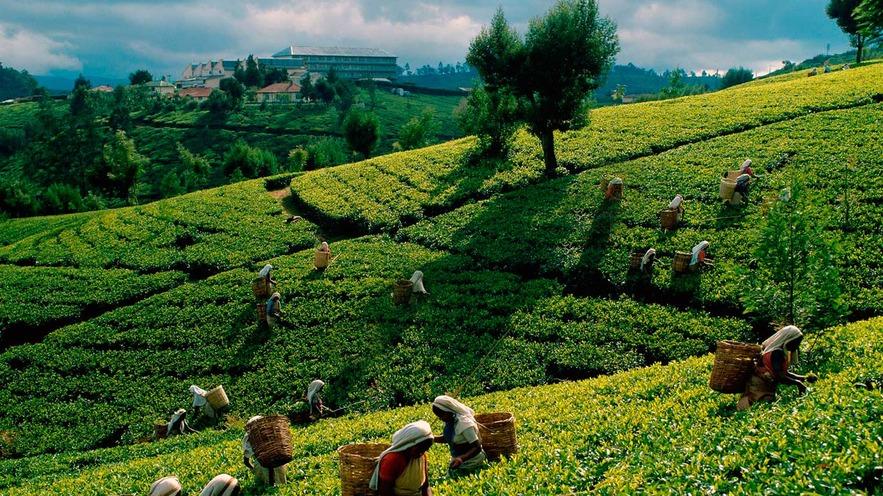 Чайное имение, Канди, Шри-Ланка