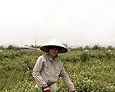 Сбор жасминовых цветов