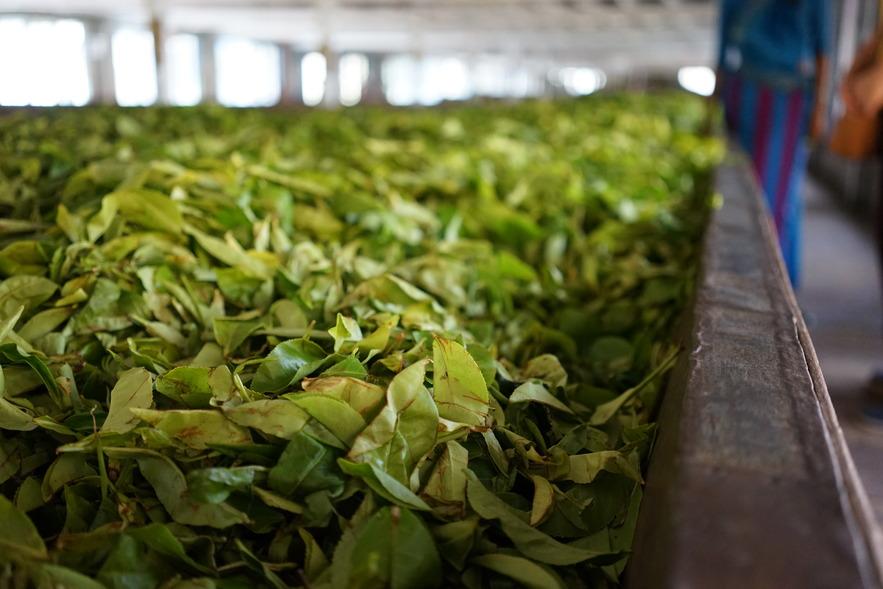 Производство чая в Нувара-Элия