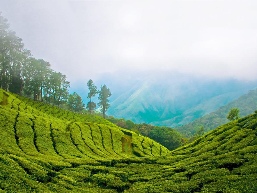 Высокогорные чайные плантации