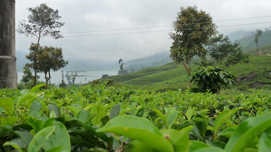 Чайное имение Дункелд, Димбула, Шри-Ланка