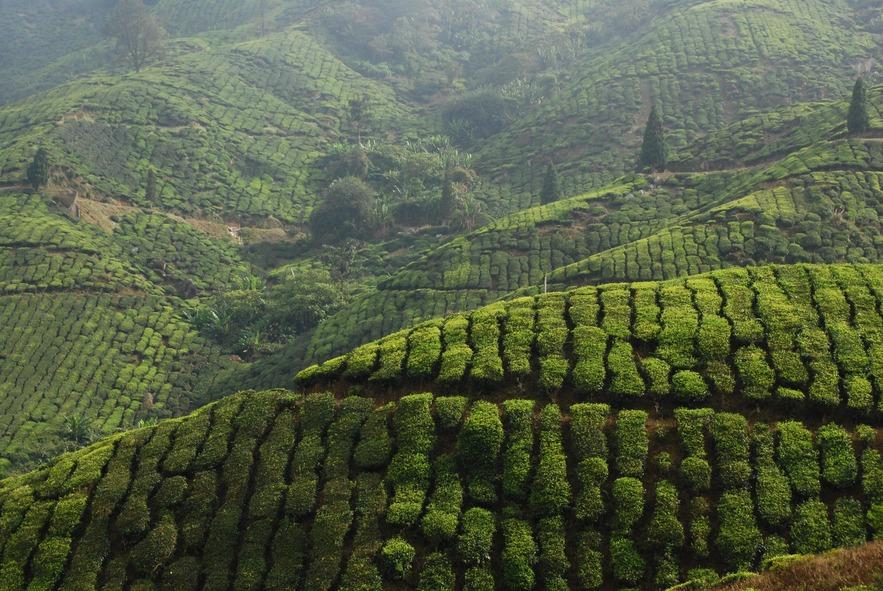 Плантации цейлонского чая, Центральне Нагорье Шри-Ланки
