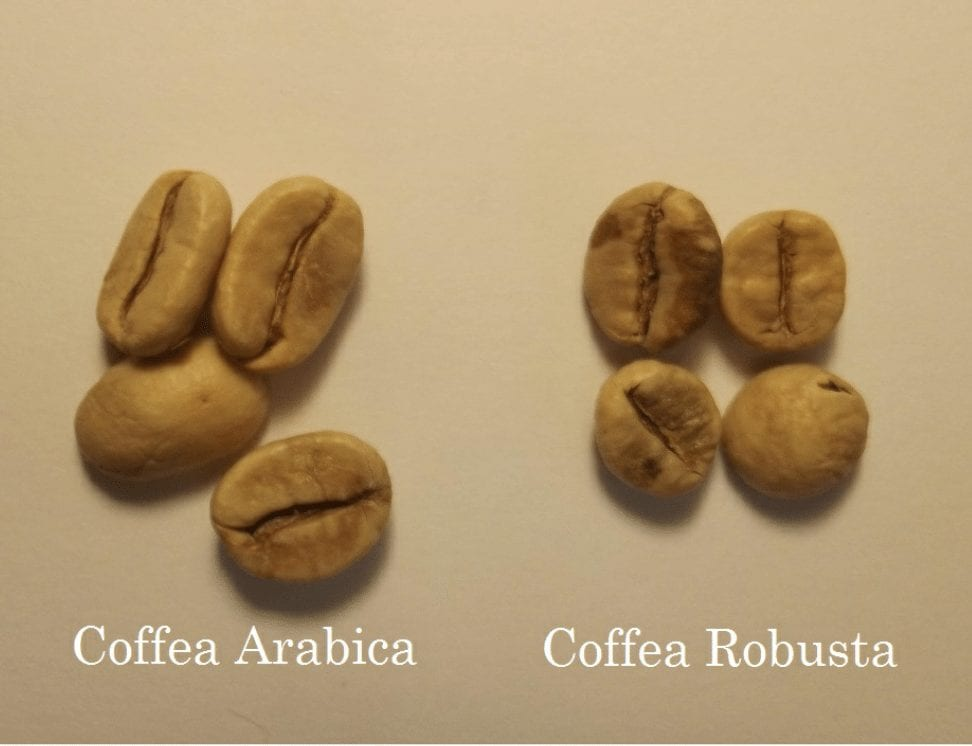 Сравнение зерен арабики и робусты