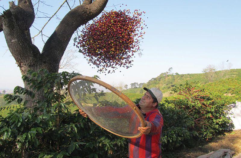 Сборщик очищает только что собранные кофеные ягоды от мусора (листья, веточки, кора)