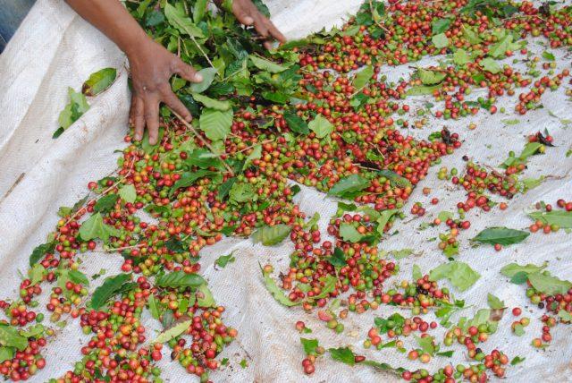 Кофейные ягоды, собранные с помощью ручного механизированного устройства derricadeiras