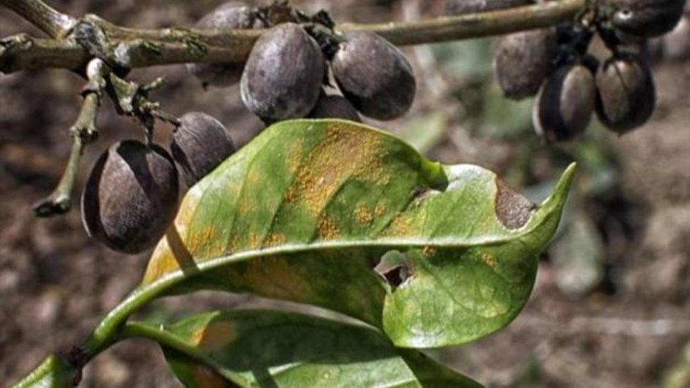 Кофейное дерево Coffea arabica, поврежденное грибком кофейной ржавчины Hemileia vastatrix