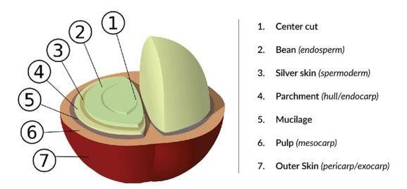 Строение кофейного зерна