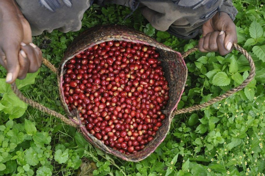 эфиопская сумка со собранными вручную кофейными ягодами