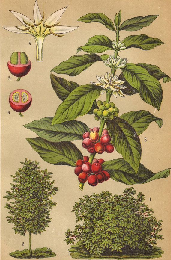 Растение Coffea arabica L.