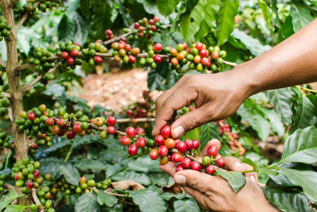 Пикинг (picking) выборочный сбор кофейных ягод вручную