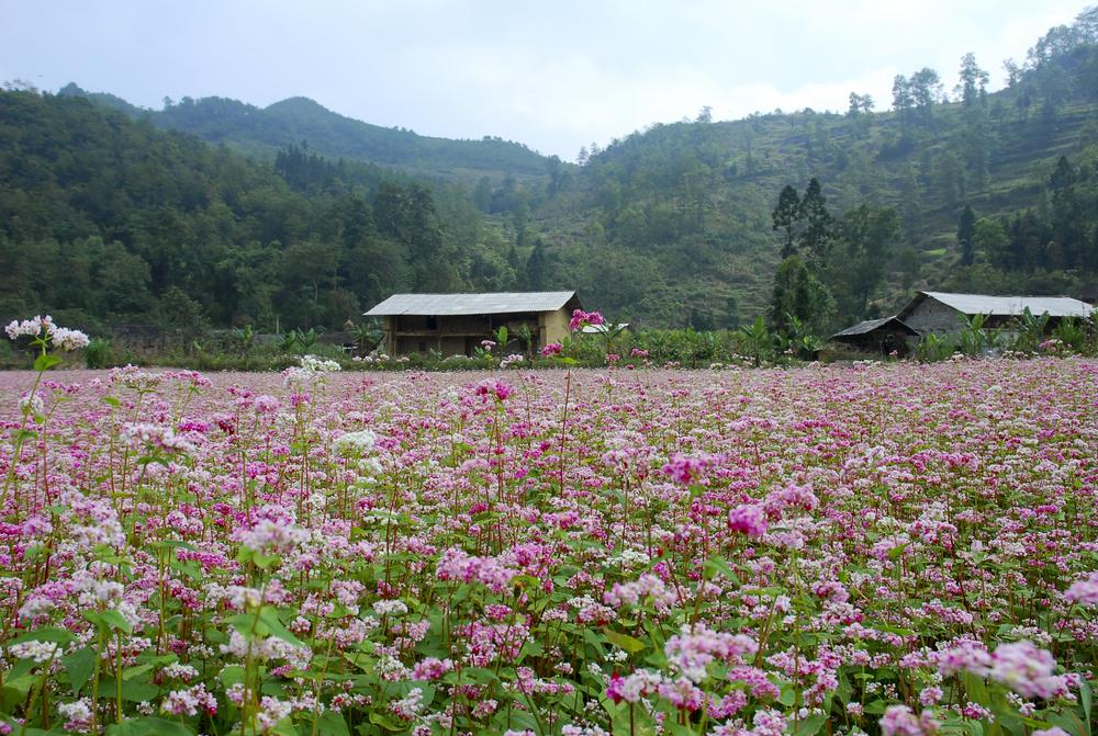 Обыкновенная гречиха - Fagopyrum esculentum Moench - поле во Вьетнаме