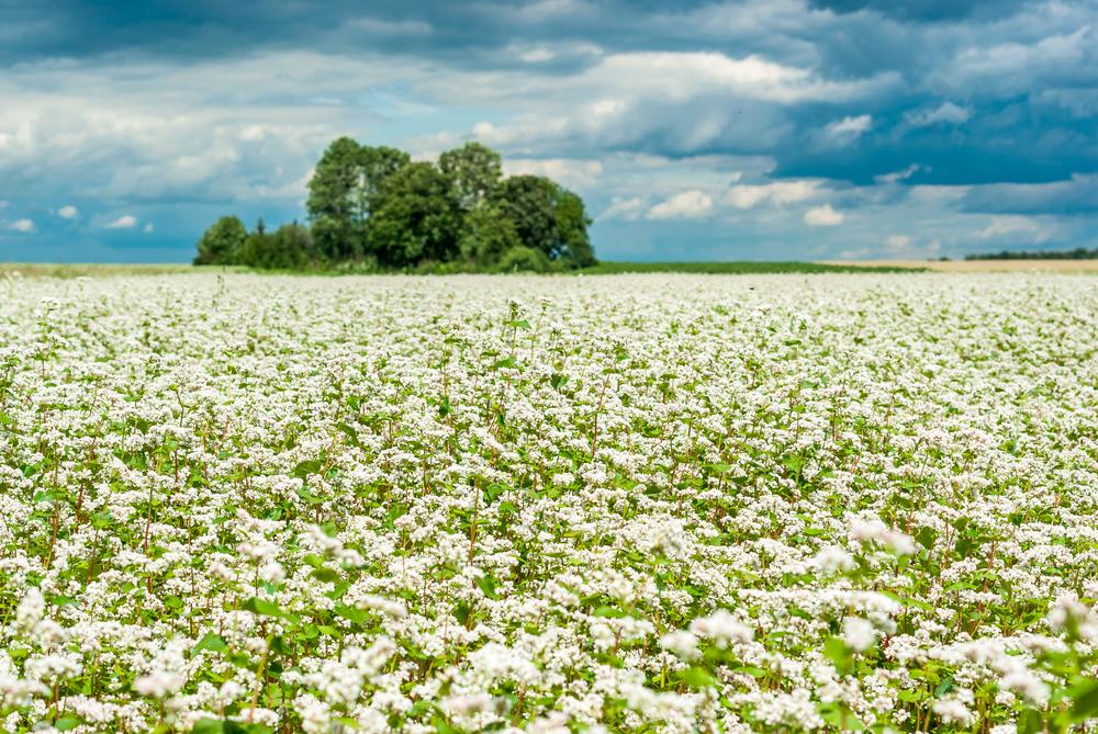 Поле цветущей гречихи татарской