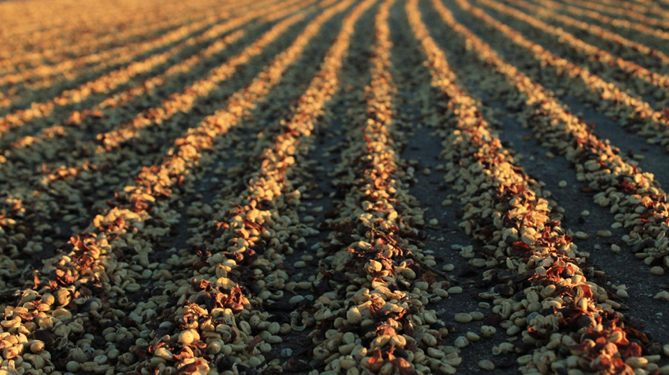 Во время сушки кофейные ягоды собирают в холмики-насыпи