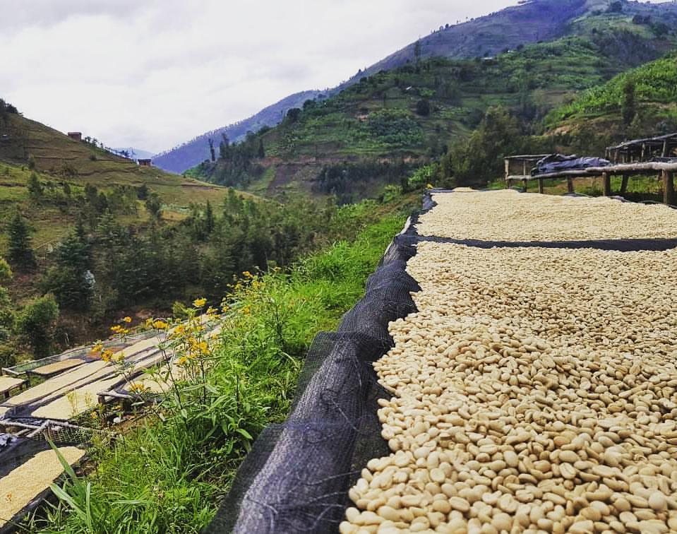 Район Сидамо: сушка мытого кофе на африканских кроватях