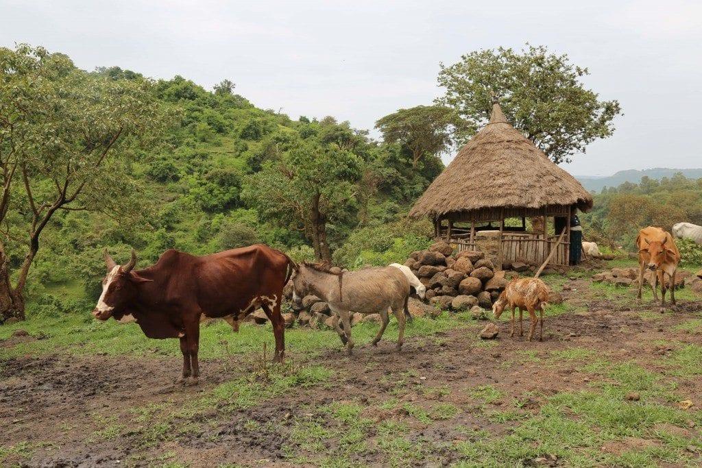 Маленькая ферма в Эфиопии