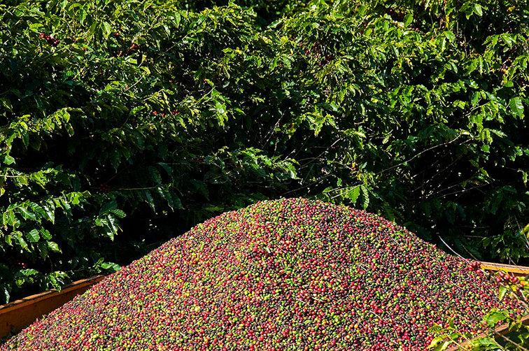 Результат механического сбора урожая кофе