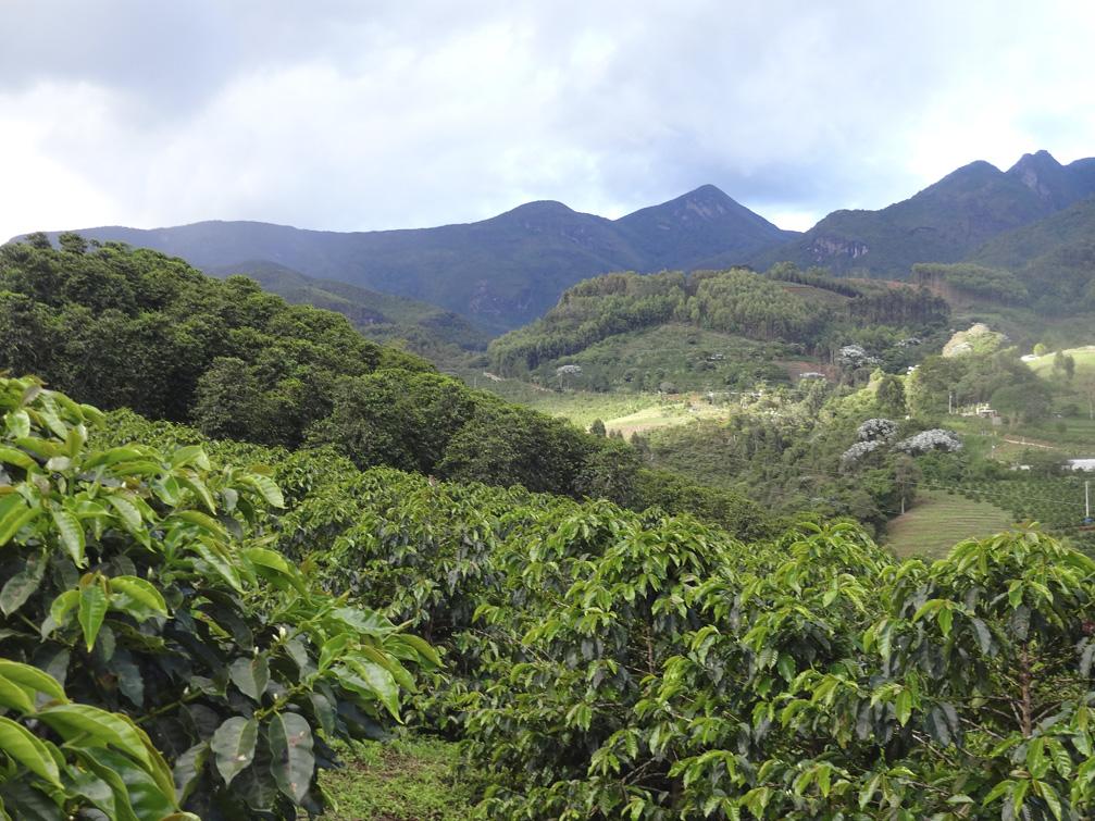 кофейная плантация в Матас-де-Минас