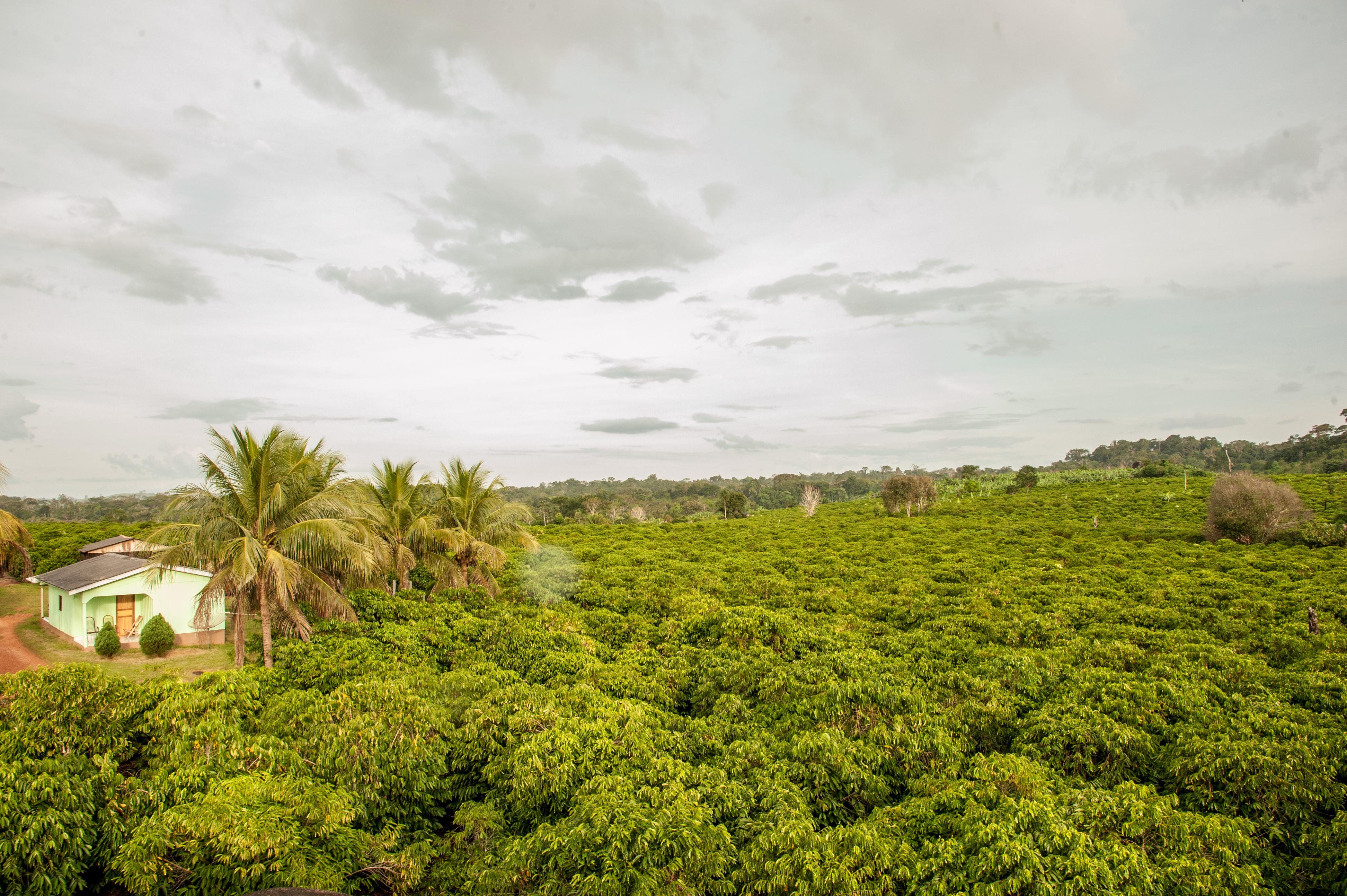 Кофейная плантация в штате Мату Гроссо