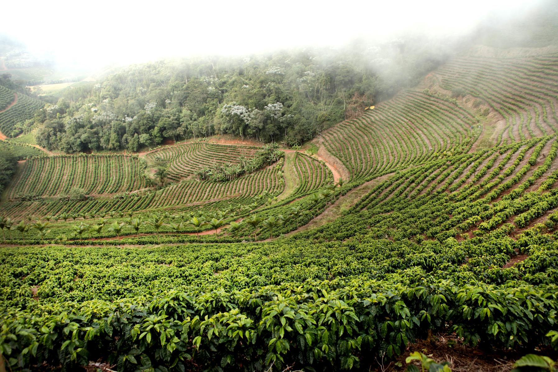 Плантация кофе в Монтаньяс ду Эспириту-Санту
