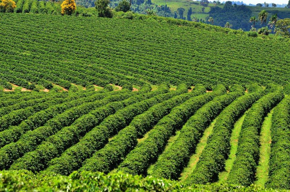 Плантация кофе в регионе Оринхос и Аваре