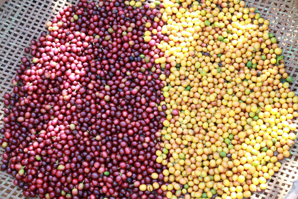 Разный цвет кофейных ягод арабики: red catuai и yellow bourbon