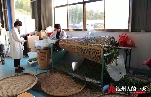 Фото процесса сортировки чайного листа в зависимости от размера и качества