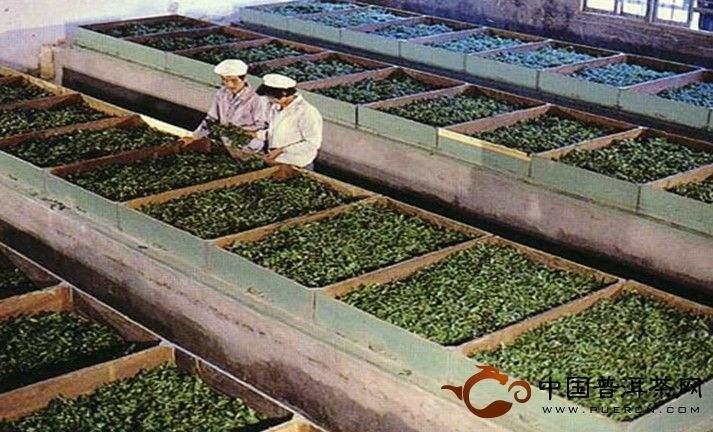 Фото процесса завяливания чайных листьев в лотках