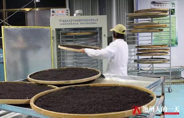 Фото сушки красного (черного) чая