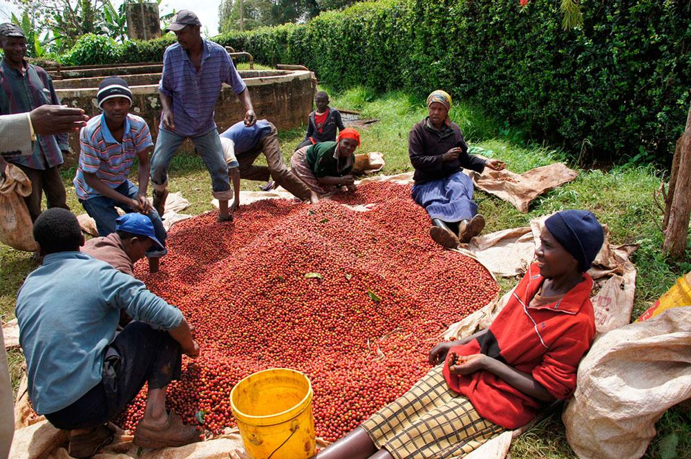 Конголезский кофе - это другое название робусты
