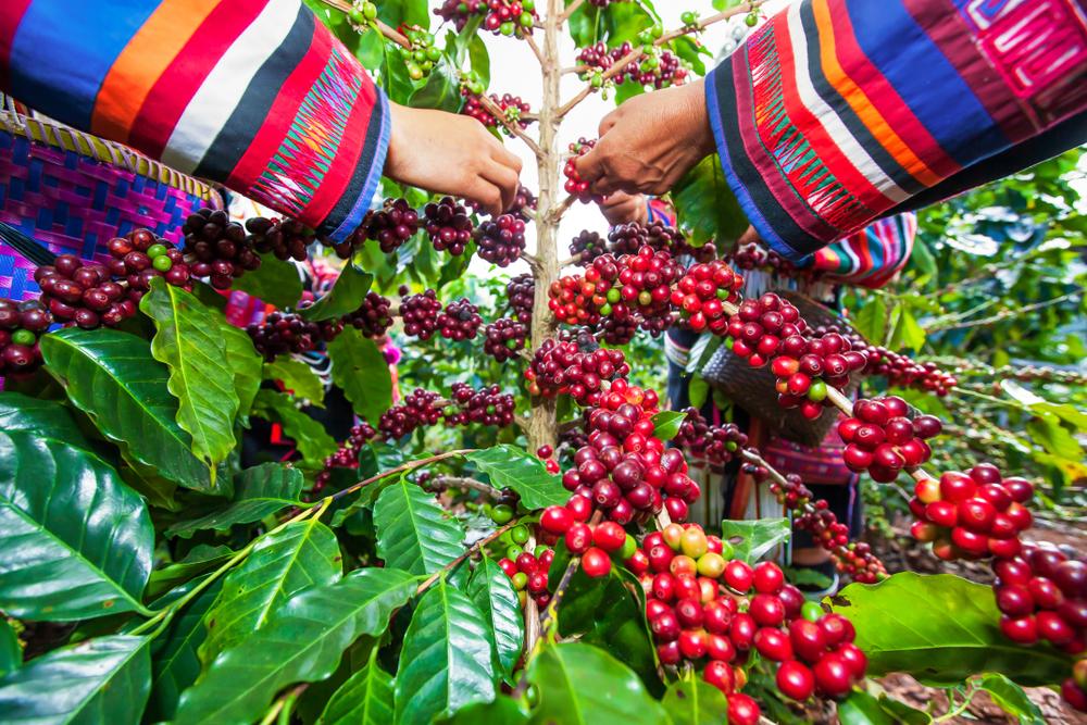 Сбор кофейных ягод робусты