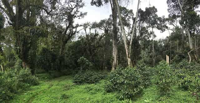 Полулесной кофе в Эфиопии