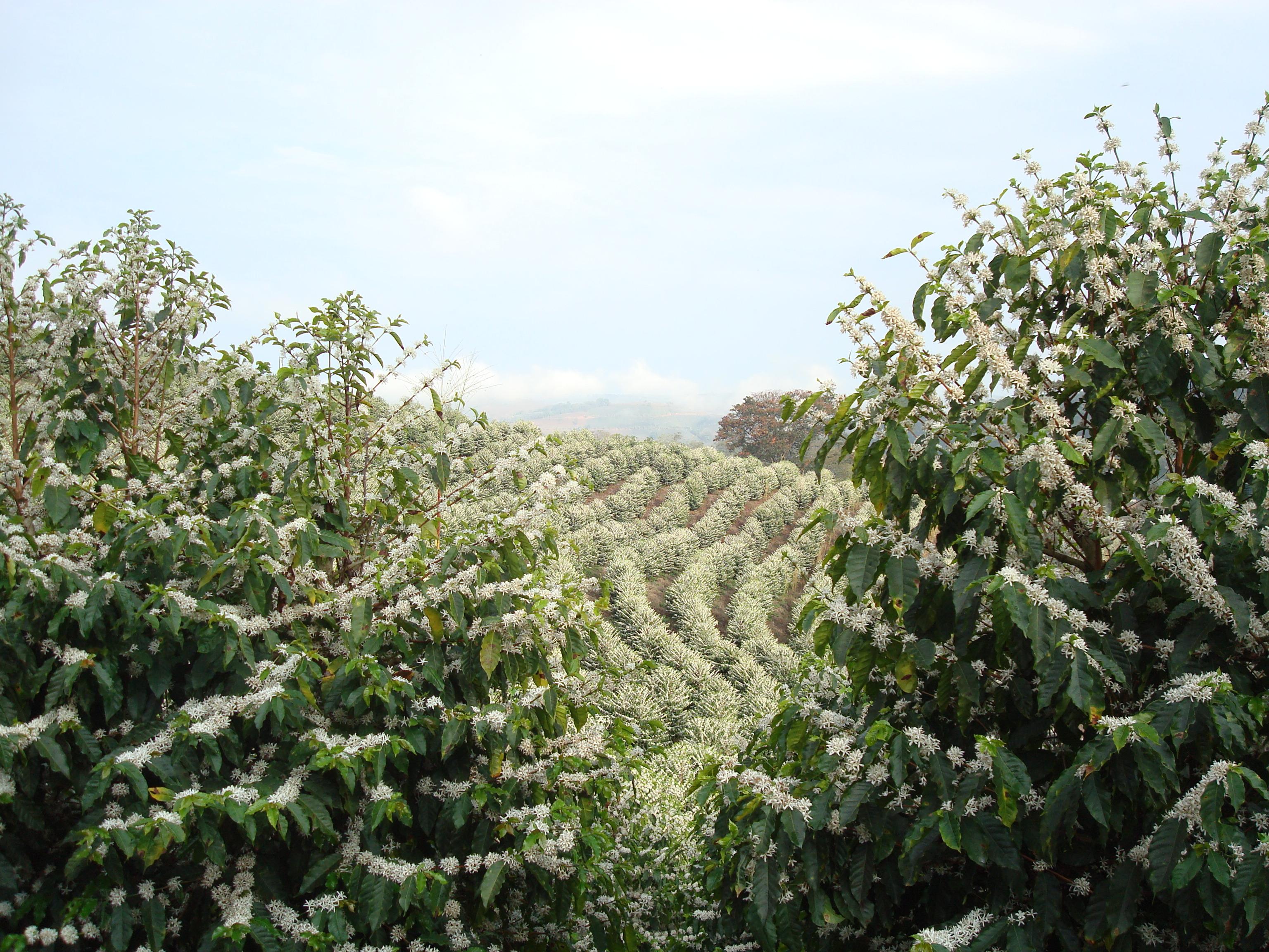 Цветение кофейных деревьев