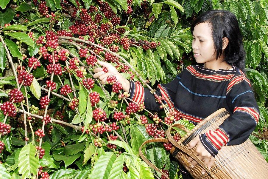 Кофейное дерево робусты во Вьетнаме