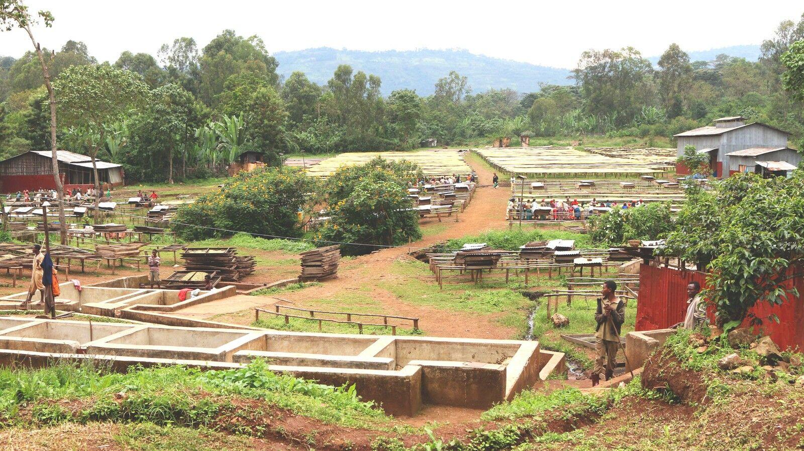 Использование мытого метода обработки кофе в Эфиопии