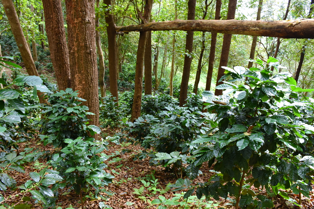 Заросли дикорастущего кофе робуста в лесах Африки