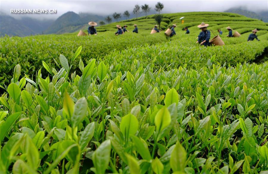 Чайная плантация в Уишань